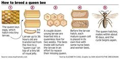 Breeding a better bee for Oregon winters