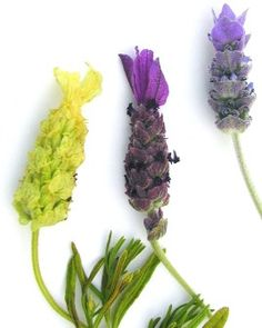 From left to right: Yellow Lavender, Spanish Lavender and French Lavender
