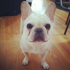 #frenchbulldog FACE!