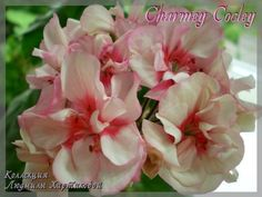 Charmey Cocley