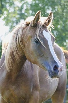 Latvian Warmblood.