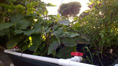Thai Basil and Eggplant
