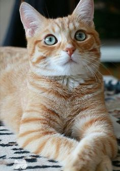 Cat Facts: Fun Tidbits About Tabby Cats - Animals Cute Cats And Kittens, I Love Cats, Crazy Cats, Cool Cats, Ragdoll Kittens, Adorable Kittens, Pretty Cats, Beautiful Cats, Gatos Cats