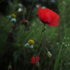 Poppy | by locusmeus