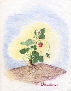 Waldorf ~ 5th grade ~ Botany ~ Strawberry ~ main lesson book