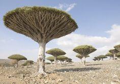 Dragon Blood Trees of Socotra