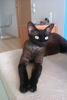 Black Devon Rex cat