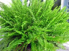 How to Divide & Conquer the Boston Fern for indoor overwintering and outdoor summer beauty!