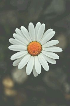 All white flowers are beautiful and with meanings of their own. Beautiful white flowers types of pretty white flower aesthetic 845691636255031579 White Flowers, Beautiful Flowers, Yellow Daisies, Bright Flowers, Daisy Love, Daisy Daisy, Flower Aesthetic, Aesthetic Grunge, Flower Wallpaper