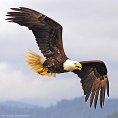 Bald Eagle ★。☆。JpM ENTERTAINMENT ☆。★。