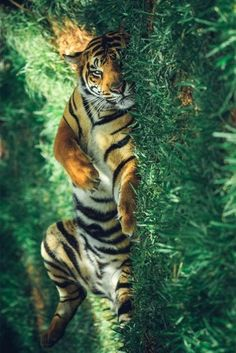 Terrific Photos big cats and kittens Popular Once you deliver a fresh pussy-cat in to the home, it becomes an thrilling time frame, plus for quite a few c Animals And Pets, Baby Animals, Funny Animals, Cute Animals, Wild Animals, Beautiful Cats, Animals Beautiful, Big Cats, Cats And Kittens
