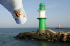 I don't know which is more photogenic.the lighthouse or the seagull.it is funny though. Georg Christoph Lichtenberg, Animal Pictures, Funny Pictures, Funniest Pictures, Strange Pictures, Hilarious Photos, Creepy Pictures, Hilarious Pictures, Bird Pictures