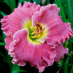 "WATER MILL GARDENS... ""Ruffled Pink Perfection"". This may be that elusive, perfect pink daylily I've been looking for!"