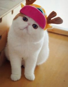 Meet Snoopy the Exotic Shorthair Cat Pics) Funny Cats, Funny Animals, Cute Animals, Mimi Chat, Kittens Cutest, Cats And Kittens, Snoopy Cat, Best Cat Breeds, Gatos Cool