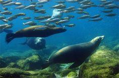 Leones marinos en el mar de Cortez