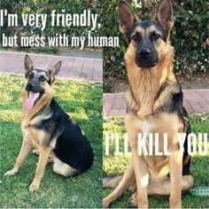 Wicked Training Your German Shepherd Dog Ideas. Mind Blowing Training Your German Shepherd Dog Ideas. Funny Animal Memes, Funny Animal Pictures, Dog Memes, Funny Dogs, Funny Animals, Cute Animals, Dog Pictures, I Love Dogs, Cute Dogs