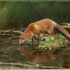 Red Fox by An De Wilde