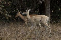 leucistic impala