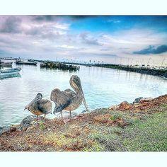 Pelícanos en la Cinta Costera ❤