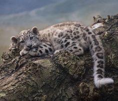 Snow Cloud Leopard. More