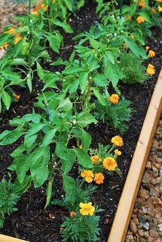 Pepper bed, using marigolds as pest control.