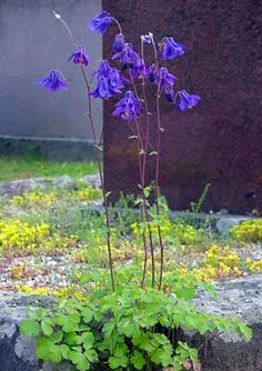 Lehtoakileija, Aquilegia vulgaris - Kukkakasvit - LuontoPortti Dry Garden, Moss Garden, Terrace Garden, Garden Types, Outdoor Plants, Shade Garden, Cut Flowers, Finland, Natural Beauty