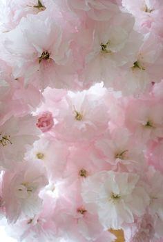 Beautiful pink flowers for the springtime. My Flower, Pretty In Pink, Pink Flowers, Beautiful Flowers, Fresh Flowers, Sakura Cherry Blossom, Pink Blossom, Cherry Blossoms, Illustration Photo