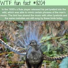 Lyrebird - WTF fun fact