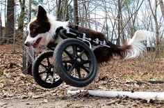 Roosevelt pops a wheelie to get over a pipe during a walk!  (Robert F. Bukaty/AP Images)