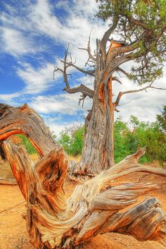 Bristlecone pine, Black Canyon of the Gunnison National Park, Colorado; photo by .vtgohokies