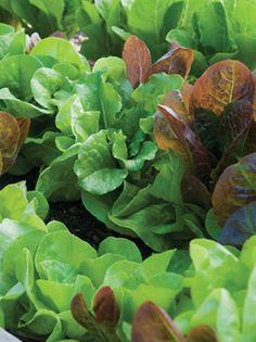 Lettuce, All Season Butterhead Mix - Butterhead at Cooksgarden.com
