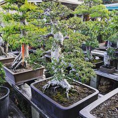 Gingko biloba Seeds Ancient Tree primitive conifer standard Bonsai or Container