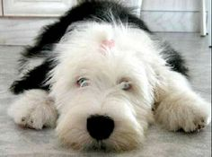 Old English Sheepdog picture - Cellphone pictures