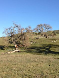 These wonderfully gnarly Coast Oak trees could be found all along the Pacific Coastal Highway 1.