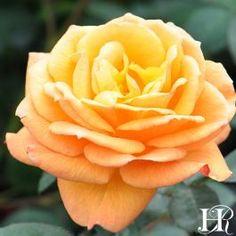 Good As Gold Rose - Hybrid Tea - Moderately Fragrant - Heirloom Roses Beautiful Roses, Beautiful Flowers, Exotic Flowers, Flowering Bushes, Rose Nursery, Heirloom Roses, Seed Packaging, Hybrid Tea Roses, Growing Roses