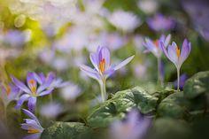 Spring Crocus by Jacky Parker on 500px