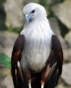 Looks almost identical to an African Fish Eagle. The African Fish Eagle has a dark tip on the end of the beak, whereas the Brahminy Kite has a solid clear yellow beak. of Prey Kinds Of Birds, All Birds, Birds Of Prey, Love Birds, Pretty Birds, Beautiful Birds, Animals Beautiful, Cute Animals, Stunningly Beautiful