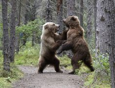 Bear fight: The two grizzly bears stood on their hind legs as they tussled in the forest in Alaska