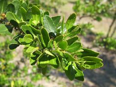 Wouldn't it be amazing to be able to brew tea with leaves from your own garden? Yaupon holly is the only plant native to North America that contains caffeine!