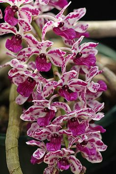Rhynchostylis Gigantea.  Rhynchostylis Orchids are originally from Thailand, Laos, The Philippines and surroundong areas. They are also refered to as 'Foxtail Orchids'