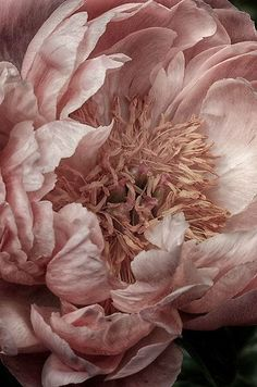 Beautiful Pale Rose Peony