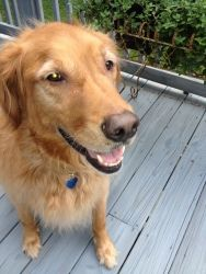 This is Caillou and adult dog. He is an owner surrender due to allergies in the family. He gets along with other dogs, cats and kids, is potty trained, neutered and has good house manners. He is working on learning commands. Caillou is looking for a forever home and is at Golden Retriever Rescue of Atlanta.