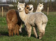 alpaca are beautiful. an alpaca farm that is large enough to house all of our friends and charlie and topanga and their babies will be just perfect. Cute Alpaca, Baby Alpaca, Alpaca Pictures, Animal Pictures, Animals And Pets, Funny Animals, Cute Animals, Wild Animals, Farm Animals