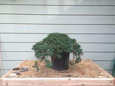Bonsai Juniperus procumbens nana Day 1