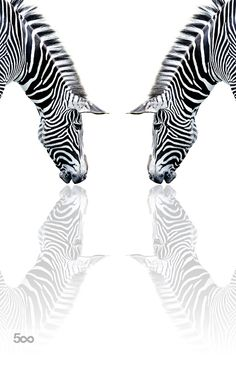 Zebra reflection by seangladwellphotography. Please Like http://fb.me/go4photos and Follow @go4fotos Thank You. :-)