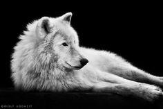THE WHITE WOLF (Wolf Ademeit S)