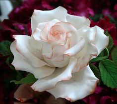 White rose accented with pink