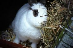 Kaninchenfan Lucky - Mein Kaninchenloch: Snow while eating hay ^_~ Lucky sleeps next to him ♡