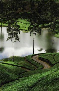 Trekking Sri Lanka's tea trails.