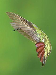 Grand Prize Winner. Green-breasted Mango. Photo by Dennis Goulet #hummingbird #bird